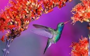 Wallpaper bird, Hummingbird, flowers, bird