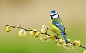 Wallpaper tit, branch, blue tit, Verba, bird