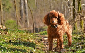 Picture nature, dog, poodle