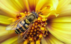 Picture flower, macro, strips, yellow, strip, bee, OSA, wings, insect