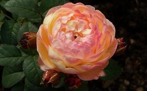 Picture leaves, Rose, Roseman, shrub, Ganon