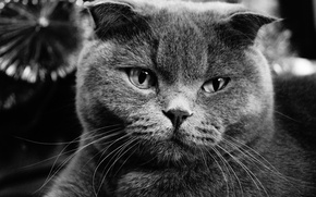 Picture cat, cat, grey, fold, Scottish fold