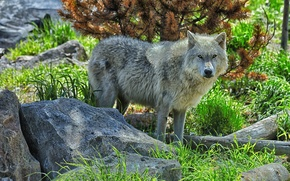 Wallpaper wolf, predator, stones