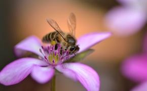 Picture flower, bee, pink, petals, bokeh