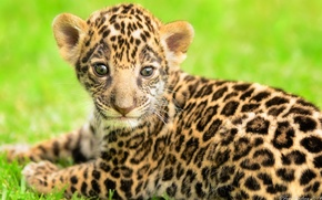 Picture predator, baby, muzzle, spot, Jaguar, cub, kitty, wild cat