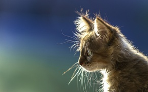 Picture background, portrait, muzzle, profile, kitty