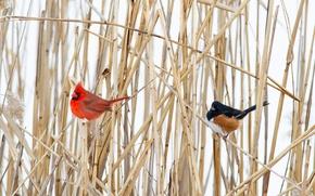 Picture winter, bird, plant, beak, tail, cardinal
