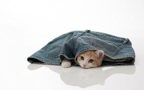 Picture cat, jeans, torode