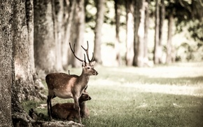 Picture nature, background, deer