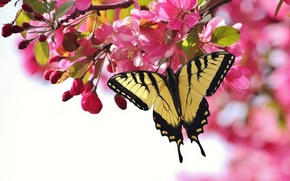 Picture flowers, cherry, butterfly, branch, pink, flowering