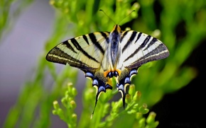 Wallpaper blur, macro, Podalirius, butterfly