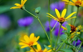 Picture flowers, nature, chamomile, plants, yellow