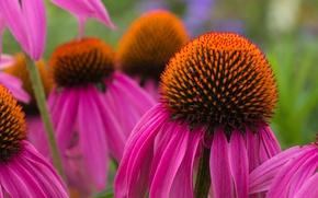 Picture flowers, nature, petals, Echinacea