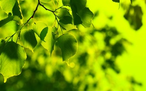 Wallpaper greens, summer, leaves, freshness, green, tree, leaf, spring, green, leaves, leaf, sheets, widescreen Wallpaper, leaves, ...