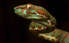 Picture look, background, snake, scales, color, Viper