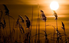 Picture grass, the sun, sunset, reed