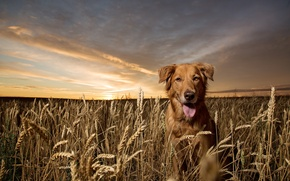 Picture look, nature, each, dog, golden retriever