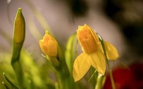 Wallpaper bokeh, spring, daffodils, buds, macro