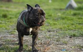 Picture greens, summer, grass, dog, bulldog, grimace, dog, French, french, bulldog