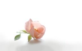 Wallpaper tenderness, Bud, briar, petals, flower, pink