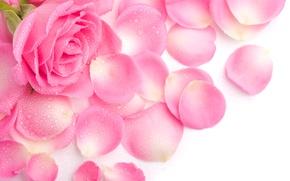 Wallpaper Rosa, petals, pink, rose