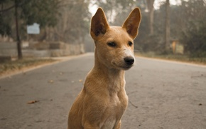 Picture road, look, Dog, wool, ears