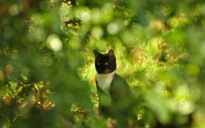 Picture cat, the bushes, razmytost, bokeh, Kote, summer, glare, cat