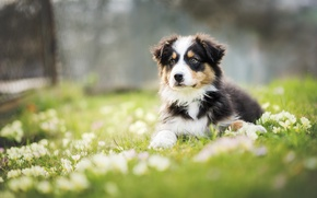 Picture flowers, dog, meadow, puppy, Wallpaper from lolita777, Aussie