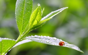 Picture leaves, macro, nature, Rosa, ladybug, morning