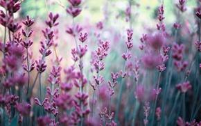 Picture field, flowers, nature, blur, lavender, lilac