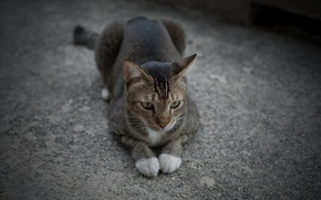 Picture cat, cat, grey, together, legs, lies