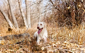 Picture autumn, forest, dog