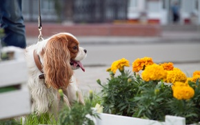 Picture summer, flowers, dog, the cavalier king Charles Spaniel