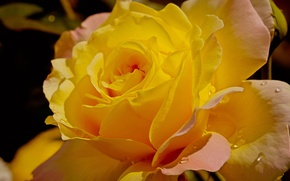 Picture drops, rose, Yellow