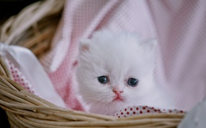 Picture look, baby, kitty, cutie, Persian cat