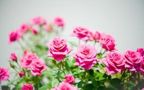 Picture nature, Bush, roses, petals, garden