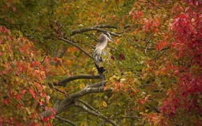 Picture autumn, branches, tree, bird, foliage, Grey Heron