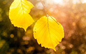 Picture autumn, leaves, macro, light, nature, tree, branch, yellow, bokeh