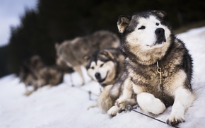 Picture dogs, snow, friends