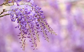 Wallpaper flowers, branch, lilac, Wisteria