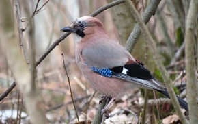 Picture bird, in the woods, Jay, wildlife