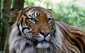Wallpaper tiger, serious, skin