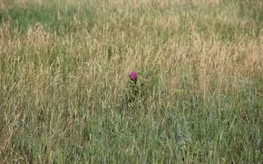 Picture summer, grass, macro, one, purple flower