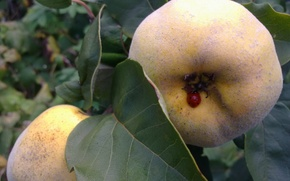 Picture leaves, ladybug, September, Quince