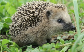 Picture grass, nature, needle, barb, hedgehog, lawn, wild