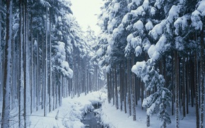 Picture snow, trees, coniferous