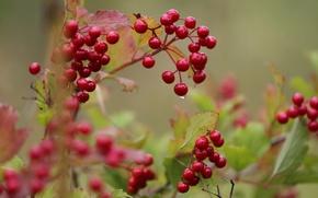 Picture drop, beginning, Kalina, autumn