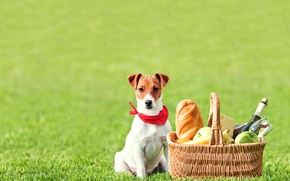Picture field, grass, wine, basket, apples, glass, bottle, cheese, bread, bananas, fruit, picnic, baton, Jack Russell …