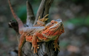 Picture nature, background, Australian Bearded Dragon