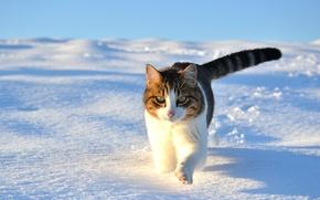 Picture cat, walk, cat, snow, winter